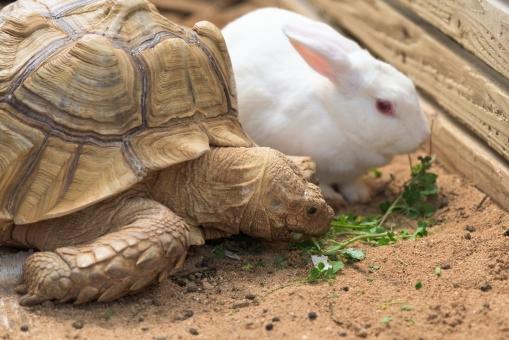 うさぎ 亀 動物 おとぎ話 昔話 爬虫類 タートル ラビット かわいい 珍しい 食事中 食事 食べる 甲羅 リクガメ 白 ホワイト ペット