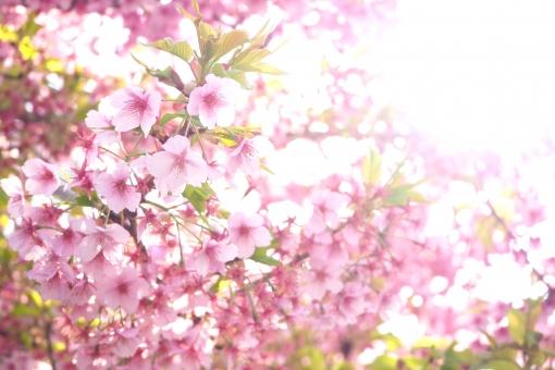 桜に関する写真写真素材なら写真ac無料フリーダウンロードok