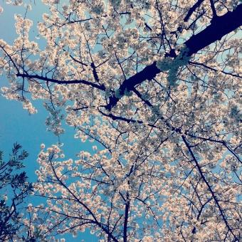 桜 桜の木 植物 空 青い空 満開 春 良い天気 晴天 スクエア 無人