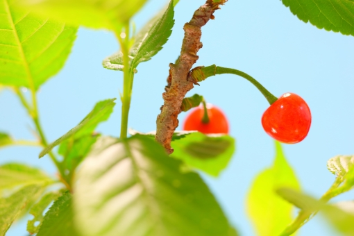 さくらんぼ サクランボ 植物 果実 木の実 園芸 甘酸っぱい 春 初夏 夏 空 横位置 余白 テクスチャ 桜 樹木 青 赤 ピンク