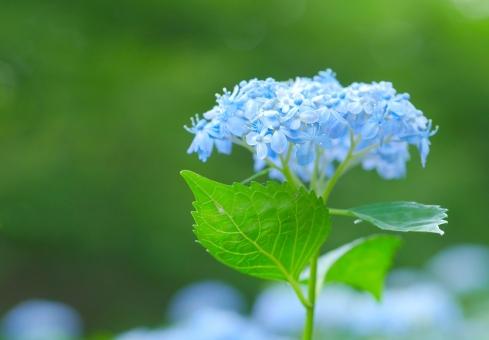 イメージ 風景 栽培 ブルー 青 花 梅雨 ソフト マクロ クローズアップ アップ 紫陽花 あじさい アジサイ テキストスペース コピースペース 六月 雨 涼しげ 涼しい 清涼 ミカワチドリ 三河千鳥 素材 葉 さわやか 可愛い かわいい みどり 自然 植物 新緑 明るい 葉っぱ はっぱ 爽やか グリーン いやし リラックス リラクゼーション 健康 美容 背景 背景素材 バックグラウンド 6月 7月 夏 緑 初夏 癒し 公園 壁紙
