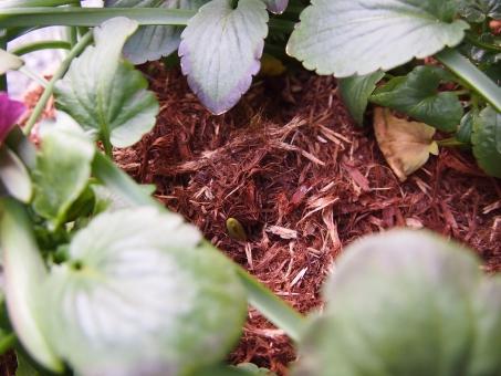 芽 芽吹き 庭 芽が出る 植物 花の芽 希望 春 初春