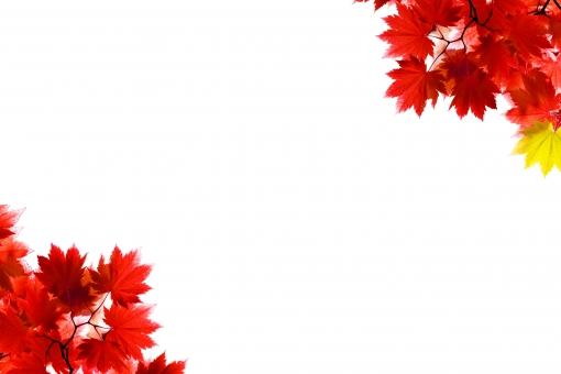 白背景 植物 日差し ナチュラル 赤 風景 景色 木 枠 フレーム コピースペース 白 葉 自然 林 枝 素材 背景 森 環境 余白 日本 バックグラウンド 森林浴 風流 穏やか 秋 もみじ 紅葉 楓 壁紙 イメージ 季節 カエデ モミジ ポストカード バック 切り抜き 鮮やか テキストスペース 文字スペース 紅 紅葉狩り かえで 四季 ベース フリー 下地 フリー素材 抜き