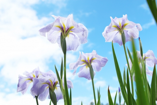 菖蒲 あやめ アヤメ 青空 花 紫 6月 6月 六月 名所 見ごろ 端午の節句 綾目 花菖蒲 ハナショウブ ショウブ アイリス 見上げる 空 空色