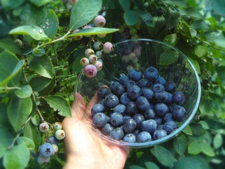 ブルーベリー アントシアニン blueberry ベリー ブルーベリー狩り 眼に良い 視力 サプリメント ヨーグルト ビタミン 新鮮 摘みたて 朝食 フルーツ