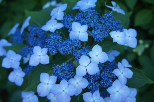 あじさい アジサイ 花 梅雨 神社 鳩森八幡神社 千駄ヶ谷 季節の花 6月の花 植物