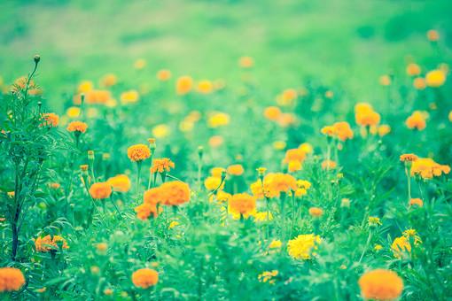 自然 植物 葉 葉っぱ 緑 茎 花 花びら つぼみ 群生 オレンジ色 山吹色 黄色 集まる 密集 多い 沢山 ピンボケ ぼやける 草原 野生 野草 野花 可愛い 綺麗 鮮やか 美しい 風景 景色 無人 屋外 室外 幻想的