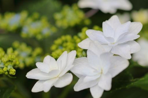 あじさい 紫陽花 6月 梅雨 雨 横位置 余白 青 紫 花 植物 静物 白
