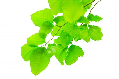 ブナ ぶな 山毛欅 山毛欅林 ブナ林 ぶな林 葉っぱ 木の葉 木葉 はっぱ 木の枝 小枝 自然 風景 木 樹木 森 植物 緑 グリーン エコ エコロジー 環境 eco eco eco 森林 森林浴 森林セラピー 癒し いやし リラックス リラクゼーション やすらぎ 安らぎ 葉 マイナスイオン 健康 美容 ワンポイント 切り抜き きりぬき 背景白 パス マスク クリッピングパス アクセント 飾り 5月 夏 緑 春 初夏 癒し きらめき キラメキ 優しさ やさしい 優しい イメージ