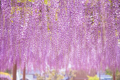 自然 植物 藤 フジ 花 花びら 垂れる 紫色 薄紫色 藤色 多い 沢山 密集 集まる 成長 育つ 藤棚 可愛い 綺麗 美しい 満開 開く 開花 無人 風景 景色 屋外 室外 幻想的