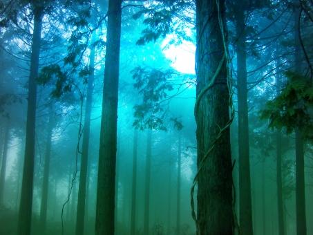 霧 濃霧 ファンタジー 幻想 幻想的 杉 杉林 曇り 曇天 もや 靄 山林 山 森林 木 樹木 怪奇 ミステリー 樹海 恐怖 ホラー ひのき 檜 ヒノキ スギ エコ エコロジー ヒーリング スピリチュアル 森林浴