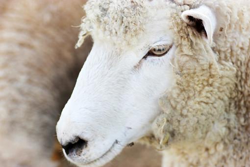 ひつじ ヒツジ 羊 生き物 アップ 動物 アニマル 干支 未年 顔 目 瞳 クローズアップ ユニーク ユーモラス かわいい 家畜 酪農 農場 飼育 育てる 飼う 食肉 羊毛 ラム