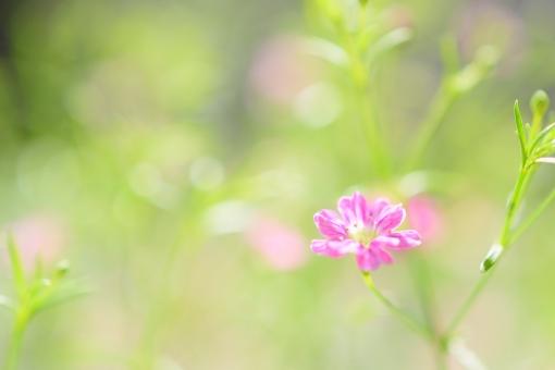 かすみ草 カスミソウ 霞草 かすみそう ピンク 桃色 小花 小さい花 花 植物 春 春の花 明るい かわいい 花言葉 願い 花壇 ガーデニング 壁紙 背景 コピースペース 文字スペース キラキラ ディープローズ