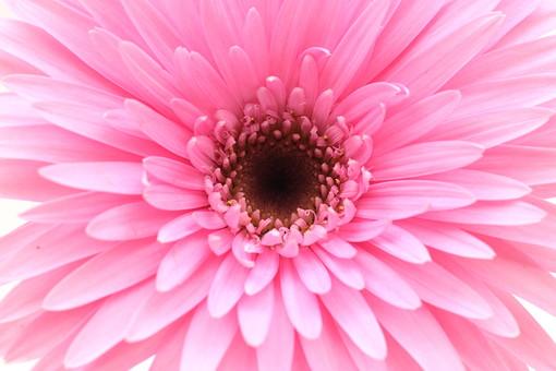 花     植物     ガーベラ     咲く    ピンク     一輪     パステルカラー     満開        花びら        正面 マクロ アップ