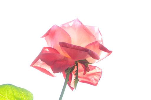 植物 花 バラ 薔薇 ローズ 棘 6月 夏の季語 剣弁咲き ピンク アロマセラピー 鑑賞 園芸 ガーデニング 栽培 庭園 バラ園 自然 アップ 下から 見上げる 空 一輪 綺麗 愛 美 上品 愛嬌 新鮮 斬新