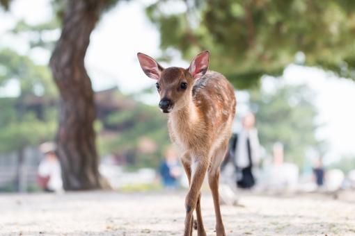 小鹿 子ジカ シカ 子供 子 鹿 バンビ 動物 哺乳類 宮島 廿日市市 広島県 観光地 かわいい 可愛い 木陰 こかげ