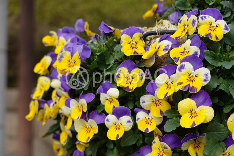 パンジーの花壇の写真