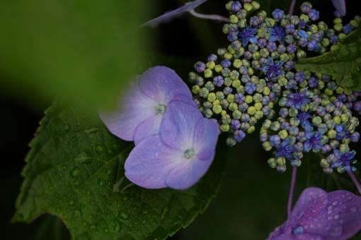 花 植物 紫陽花 あじさい アジサイ 紫 青 6月 梅雨 雨 湿度 湿り気 横位置 余白