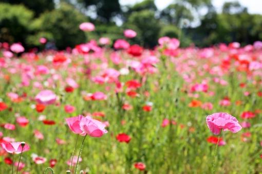 ポピー ピンク 花 初夏 夏の花 5月 5月の花 花畑 お花畑 植物 自然 明るい メルヘン 淡い 一面 咲き誇る たくさん