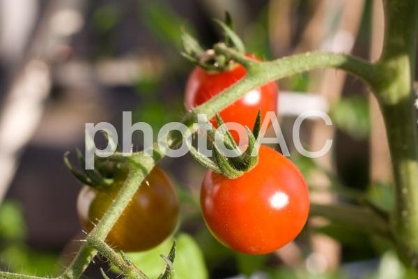 プチトマトの写真