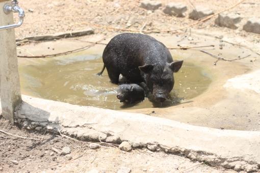 豚 ブタ 黒豚 黒ブタ 親子 子豚 仔豚 仔ブタ 子ブタ 水浴び 牧場 動物