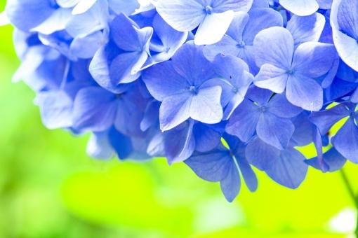 自然 風景 景色 環境 スナップ 旅行 散歩 公園 森林 緑 林 かわいい 小さい 春 夏 季節 葉っぱ 植物 美しい きれい シルエット 花 つぼみ 栽培 野花 野草 草花 癒し アジサイ 梅雨