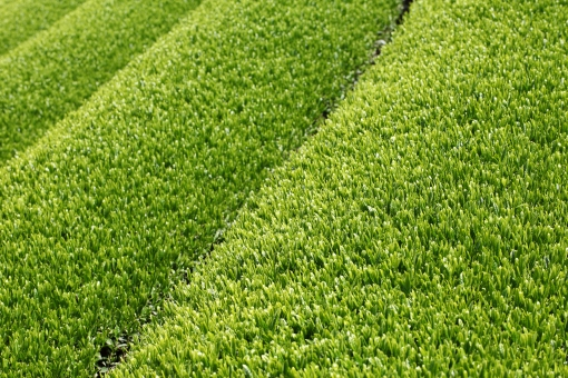 茶畑 お茶畑 茶 お茶 茶所 植物 新茶 新緑 畑 農業 農作物 農作業 農産物 特産物 農家 収穫 栽培 産業 風景 茶葉 葉 葉っぱ 新芽 芽 自然 初夏 夏 八十八夜 緑色 緑 グリーン 背景 バックグラウンド アップ 一面 全面 無人 日本