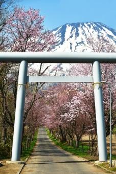 鳥居 桜 桜並木 長い道 羊蹄山 さくら サクラ 桜画像 ニセコ ニセコ神社 倶知安神社 北海道ニセコ