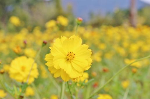 コスモス 花 植物 秋桜 秋 初秋 九月 9月 黄 黄色 yellow イエロー collar カラー 自然 風景 景色 景観 壁紙 背景 テクスチャ 素材 明るい 朗らか カワイイ 可愛い かわいい 綺麗 キレイ きれい 素敵 ステキ 可憐 密集 群生 花言葉 たくさん いっぱい 秋の色 autumn 愛らしい 花びら 花粉 彩り 優しい フンワリ ふんわり 陽射し 日差し 晴れ 快晴 晴天 青い 青い空 青空 青 ブルー blue 雲 白い雲