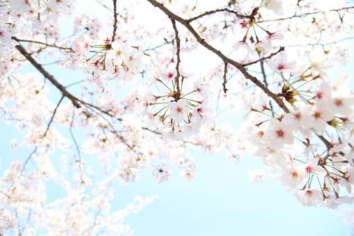 花 お花 春 フラワー 背景 植物 バックグラウンド きれい 背景素材  咲く 晴れ 桜 桃色 満開 風景 自然 明るい  青空 屋外 木 青色 爽やか 快晴 枝 花びら