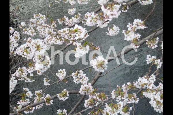 Sakura2の写真