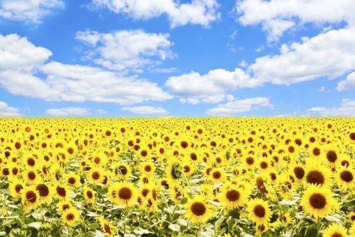 青空と向日葵畑の写真