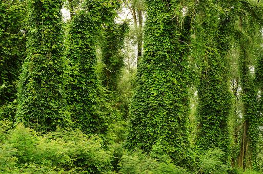 木 木々 葉っぱ 葉 植物 自然 自然現象 不思議 つる草 つる 生い茂る 茂み 森 森の中 草わら 草むら 山 山の中 緑 覆う 生育 まとわりつく いっぱい ツタの葉