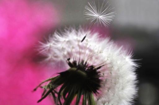 植物 草花 春の草花 タンポポ 綿毛 旅 旅の始まり 旅する 風来坊 マクロ 種 風媒花 旅立ち 旅立ちのイメージ 風に吹かれて 春 出発 人生のたび