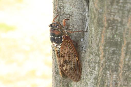 自然 植物 風景 景色 木 樹木 幹 蝉 セミ せみ 羽根 昆虫 夏 うるさい 鳴く つかまる 風物詩 飛ぶ 無人 屋外 アップ 生き物 アブラゼミ 成虫 一匹 止まる
