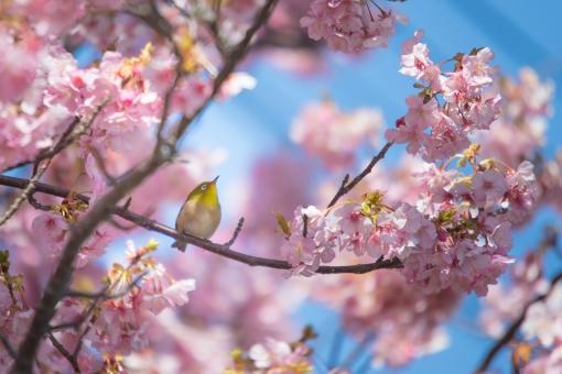 桜 メジロの写真