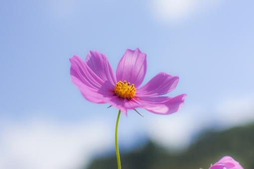 秋桜の写真