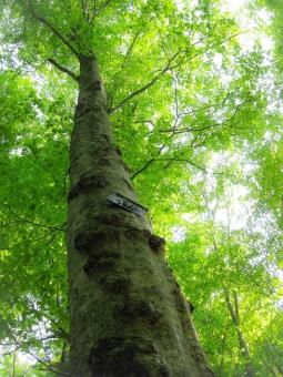 白神山地 ブナ 木 自然 世界遺産 緑 青 大木 伸びる 樹木 長寿 樹齢 森林浴 青森県 生命力 生きる 力 パワー