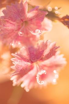 自然 植物 花 花びら おしべ めしべ 花粉 ピンク 桃色 雨 雨粒 粒 玉 水玉 朝露 みずみずしい 綺麗 可愛い 美しい 爽やか ギザギザ 成長 育つ 咲く 開花 満開 開く ぼやける ピンボケ 無人 室外 屋外 風景 景色 アップ 幻想的 ナデシコ 撫子