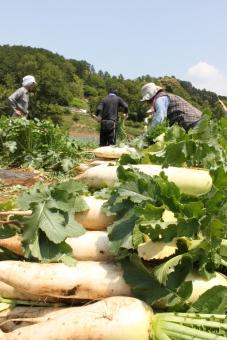 大根 だいこん 野菜 収穫 農業 農家