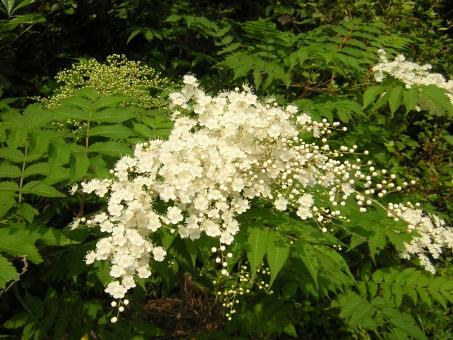 自然 風景 植物 花 ニワナナカマド 五色台 香川県