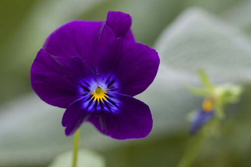 自然 風景 環境 植物 花 草花 観葉 手入れ 栽培 世話 水やり 植える 育てる ベランダ 庭 林 公園 花壇 癒し 咲く 開花 成長 土 観察 アップ フレンチラベンダー パンジー