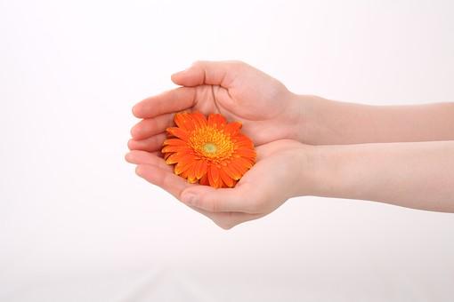 手 ハンド ハンドパーツ 人物 女性 背景 白 白背景 白バック 切り抜き パーツ ボディパーツ 腕 指 手首  肌 余白 シンプル コピースペース 両手 合わせる 重ねる 花 花びら 包み込む ガーベラ オレンジ 橙 包む 手のひら 愛情 優しい 差し出す 受け取る 受け止める フラワー 持つ
