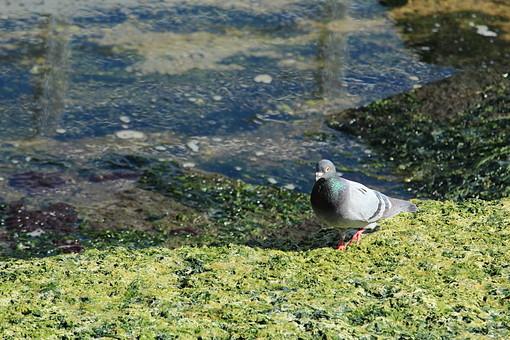 苔 植物 壁 コンクリート 海 波 波打ち際 石 外 屋外 景色 風景 緑 こけ コケ 水 海水 野生 自生 生える 増える 群生 湿った 繁殖 鳩 はと ハト 鳥 とり トリ 鳥類