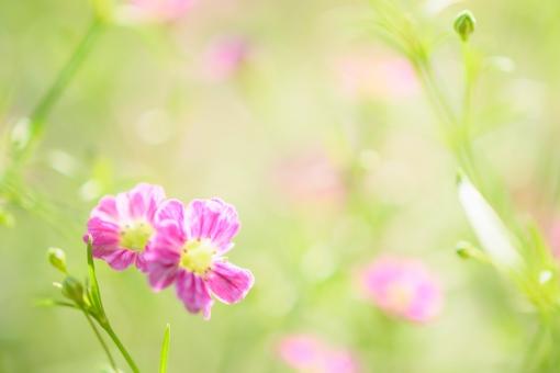 カスミソウ かすみそう かすみ草 霞草 花 植物 小花 小さい花 ピンク 桃色 明るい 花言葉 切なる願い 可愛い かわいい コピースペース 文字スペース キラキラ メルヘン クローズアップ アップ 壁紙 テクスチャ ヘッダー