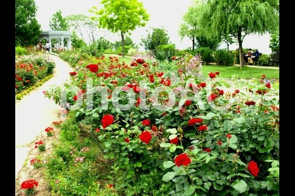 美しいバラ園の写真