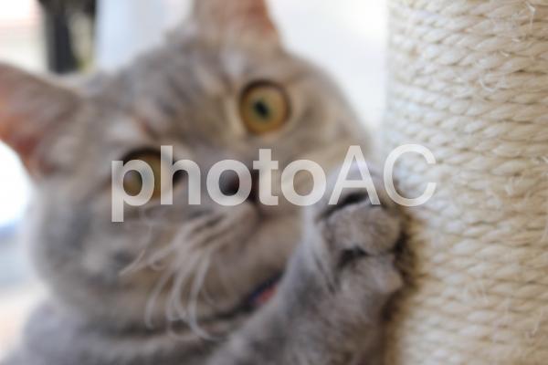 キャットタワーで爪とぎする猫(ぼかし)の写真
