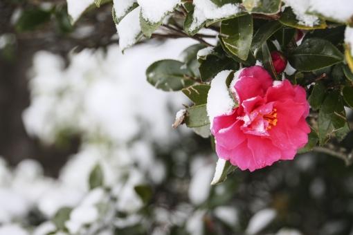山茶花 つばき 椿 雪 冬景色