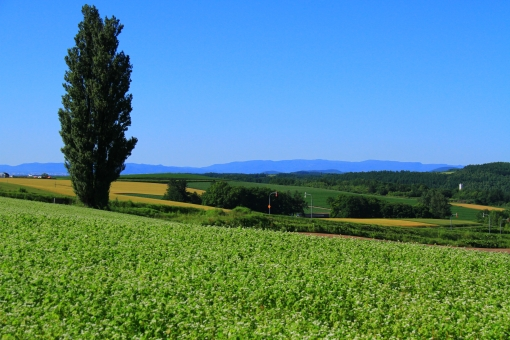 ケンとメリーの木 美瑛 美瑛の丘 北海道 青空 旅行 観光 風景 景色 背景 晴天 快晴 お天気 雲一つない青空 快適 爽快 さわやか 爽やか 青 緑色 風 暑さ 暑い 涼しい 涼しげ 遠くの山並み 雄大 広大 広い 観光地 夏