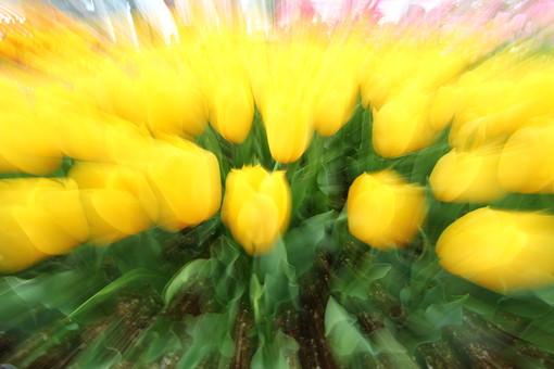 自然 風景 スナップ 旅行 植物 花 あざやか 原色 人気 チューリップ オランダ ポピュラー 花びら 花弁 茎 栽培 ガーデニング 庭園 植物園 温室 見頃 満開 旬 季節 黄色 ボケ ピント